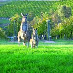 roos_in_vineyard  Australia