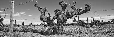 Glaetzer Vines
